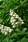 Chestnut flowers. And green leaves on a spring tree, vertical shot royalty free stock photos