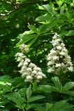 Chestnut flowers. And green leaves on a spring tree, vertical shot royalty free stock images