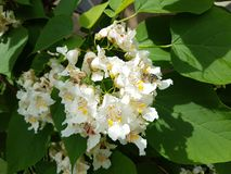 Chestnut flowers. Insect on white chestnut flowers among green leaves royalty free stock photo