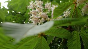Chestnut flowers during the spring season close up. 4 k video.  stock footage