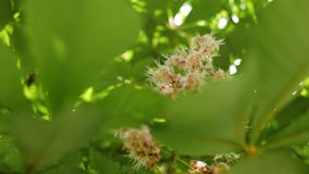 Chestnut flowers during the spring season close up. 4 k video stock video footage
