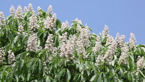 Chestnut flowers swaying in the wind stock video footage