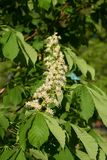 Chestnut. Flowers on tree, close-up stock photography