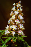 Chestnut Flowers Royalty Free Stock Photography