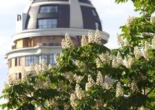 Chestnut flowers. White horse chestnut flowers in spring stock photography