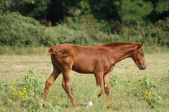 Chestnut Foal Royalty Free Stock Images