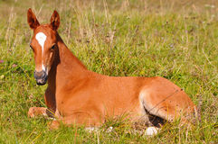 Chestnut foal Royalty Free Stock Image