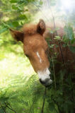 Chestnut foal in backlight Stock Image