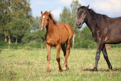Chestnut foal and black horse walking at the pasture Royalty Free Stock Images