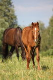 Chestnut foal eating grass at the pasture Royalty Free Stock Image