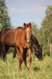 Chestnut foal eating grass at the pasture stock image