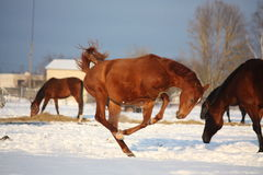 Chestnut foal galloping at the field Stock Photo