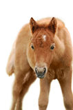 Chestnut foal isolated on white Stock Photos