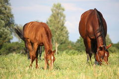 Chestnut foal and its eating grass at the pasture Stock Images