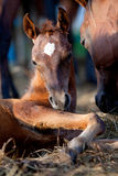 Chestnut foal lying down Royalty Free Stock Photography