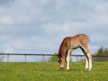 Chestnut Foal in a paddock Stock Images
