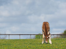 Chestnut Foal in a paddock Royalty Free Stock Photos