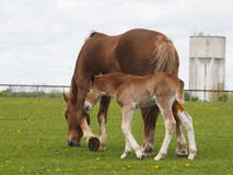 Chestnut Foal in a paddock Royalty Free Stock Image