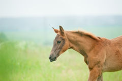 Chestnut foal portrait on blurry pasture background Royalty Free Stock Image