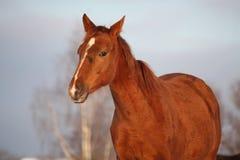 Chestnut foal portrait on sky background Stock Photography