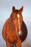 Chestnut foal portrait on sky background Stock Photos