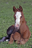 Chestnut Foal resting in grass Royalty Free Stock Images