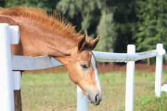Chestnut foal standing near the pasture fence Royalty Free Stock Photos