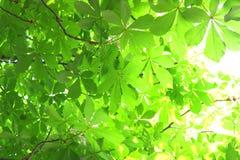 Chestnut foliage Royalty Free Stock Photo