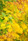 Chestnut foliage in autumn. Lovely natural background vertical royalty free stock photos