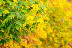 Chestnut foliage in autumn. Lovely natural background stock photo