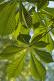 Chestnut foliage in spring Stock Images