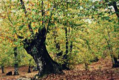 Chestnut forest in autumn - Aracena. Yellow chestnut forest in autumn in Aracena - Spain - Europe Stock Image