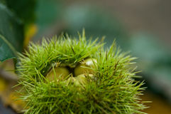 Chestnut  in the forest Stock Photography