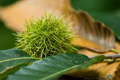 Chestnut  in the forest Royalty Free Stock Images