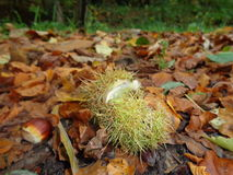 Chestnut in forest. The fruit of chestnut is contained in a spiny (very sharp) cupule also called bur or burr Royalty Free Stock Image