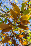 Chestnut forest and leaves Royalty Free Stock Images