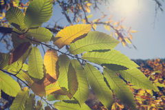 Chestnut forest and leaves Royalty Free Stock Photos