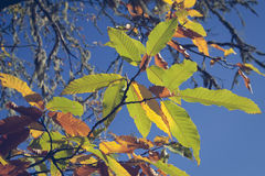 Chestnut forest and leaves Stock Photography