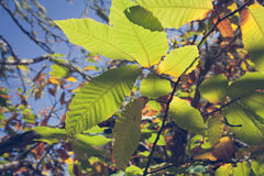 Chestnut forest and leaves Royalty Free Stock Image