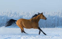 Chestnut free mustang in snowy field. Stock Image