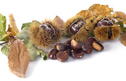 Chestnut. Fresh Chestnut in front of white background royalty free stock image