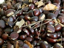 Chestnut. Freshly beautiful chestnut from the forest Stock Photos