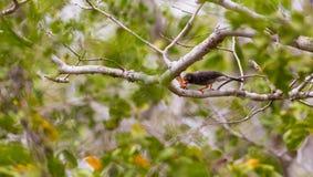 Chestnut-fronted Helmet-Shrike feeding Stock Photos