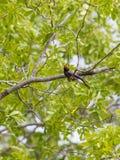Chestnut-fronted Helmet-Shrike Stock Image
