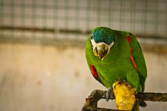 chestnut fronted macaw is eating royalty free stock photo