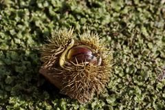 Chestnut fruit Royalty Free Stock Photos