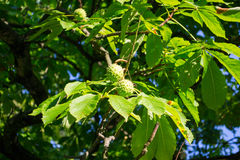 Chestnut - fruit on the branch Stock Image