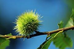 Chestnut fruit Stock Images
