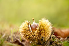Chestnut fruit on the ground. Fallen chestnut fruit on the ground stock photo