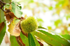 Chestnut fruit on the tree. Castanea sativa Stock Image